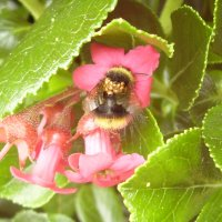 Commensal mites are helpful to the bumblebee